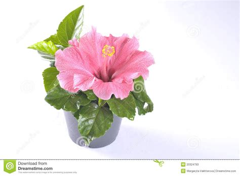hibiscus flower in a pot stock photos image 20324793