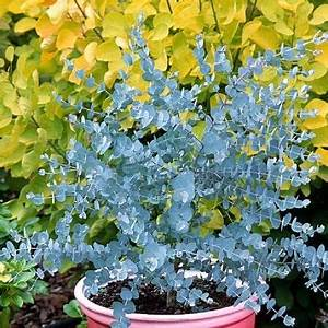 Eucalyptus En Pot : eucalyptus gunnii azura gommier cidre les plantes de ~ Melissatoandfro.com Idées de Décoration