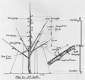 Quand Planter Un Pommier : tailler un abricotier affordable abricotier with tailler ~ Dallasstarsshop.com Idées de Décoration