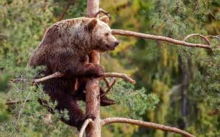 Big Brown Bear Climbing a Tree