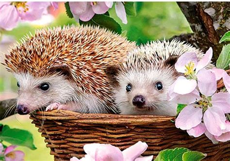 Hedgehog Types & Care of your small PET 2020 Best