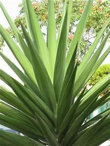 Plante D Extérieur En Pot : le yucca d couvrez tout sur cette plante fascinante ~ Dailycaller-alerts.com Idées de Décoration