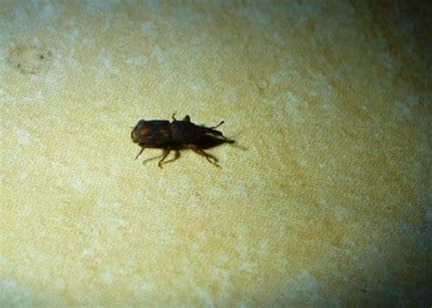 insectes dans la cuisine dryophthoridae petit insecte noir dans la maison le