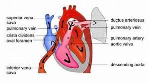 Fetal heart
