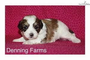 Sadie : Shichon puppy for sale near Iowa City, Iowa ...