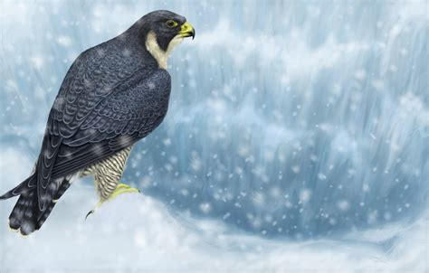 peregrine falcon  ultra hd wallpaper background image