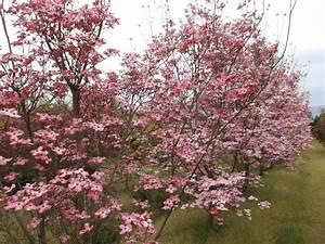 Cornus Florida Rubra : cornus florida rubra cornus ornamentali da fiore online cornus online ~ Frokenaadalensverden.com Haus und Dekorationen