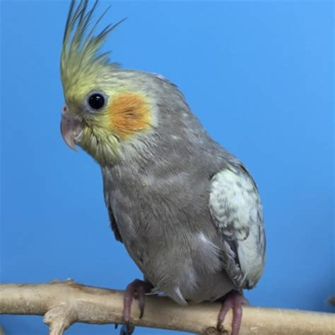 cockatiel breeders hairy woman ass
