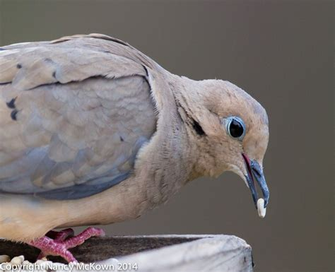 photographing mourning doves welcome to