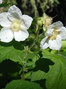 Weiß Blühende Sträucher : foto violett bl hende himbeere thimbleberry wei ~ Michelbontemps.com Haus und Dekorationen