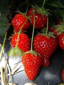 Plant De Fraisier : fraisier cijos e remontant potager ~ Premium-room.com Idées de Décoration