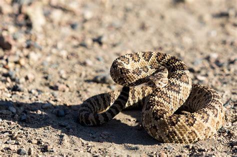 How to Spot Texas' Most Dangerous, Venomous Snakes