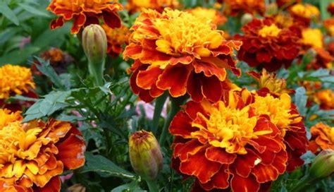 Viengadīgās vasaras puķes