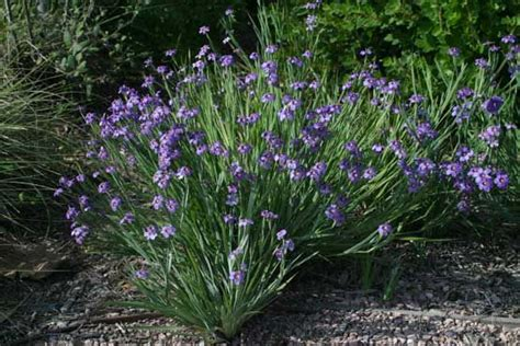 blue eyed grass sisyinchium bellum water wise plants