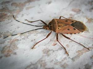 True Bug From China
