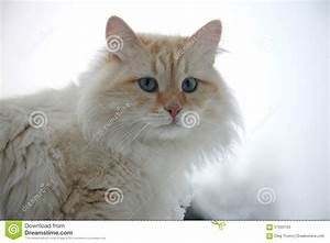 Fluffy White Ginger Adult Cat Stock Photo - Image: 57593103