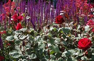 Begleitpflanzen Für Rosen : begleitpflanzen zu rosen m hle dickmann alles f r garten und tiere ~ Orissabook.com Haus und Dekorationen