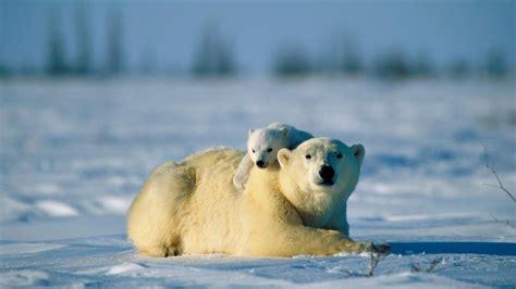 Landscapes Nature Snow Animals Polar Bears Baby Animals