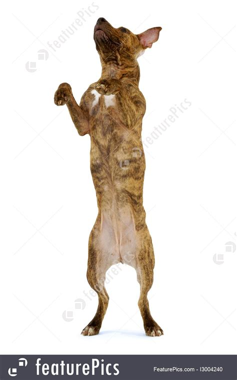 Pets Standing Dog Stock Image I At Featurepics