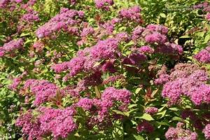 Russell U0026 39 S Photo Gallery   Plants  U00bb Shrubs - Deciduous  U00bb Spirea