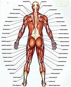Belly Button Anatomy Diagram