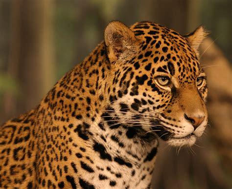 Jaguar Animal Wallpaper - jaguar animal wallpaper wallpapersafari