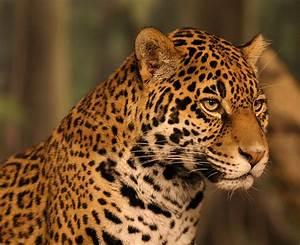 Jaguar Wallpaper Animal - johnywheels.com