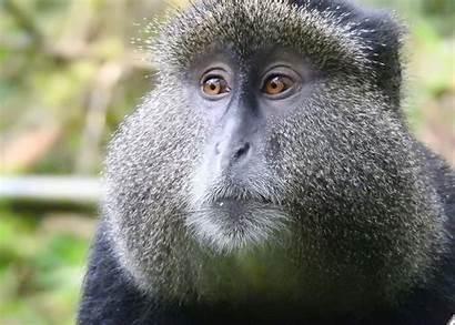 Monkey Golden Tracking Bamboo
