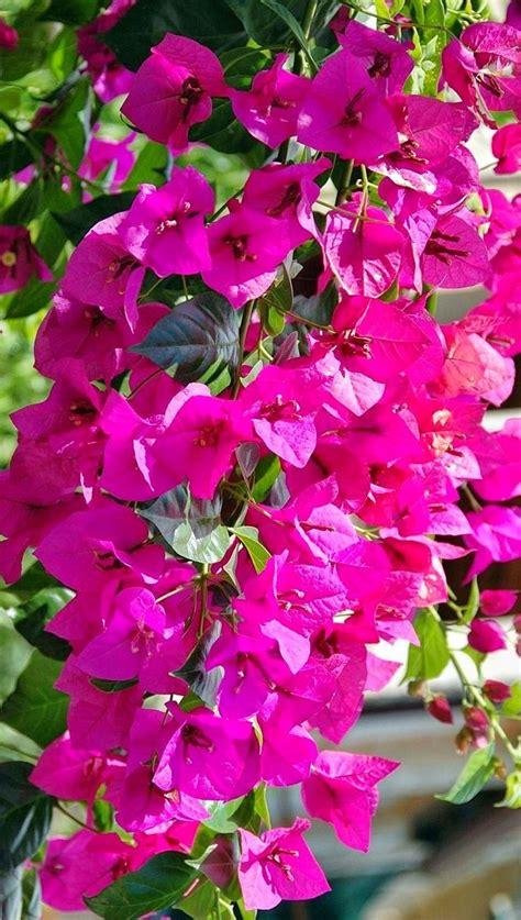 bougainvillea colors 25 best ideas about bougainvillea on