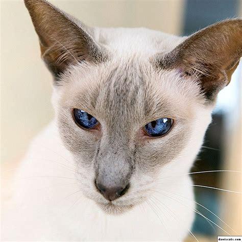 🐈 Siāmas un Taizemes kaķu šķirnes atšķirības