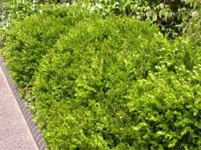 best shrubs for small gardens best shrubs