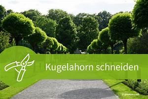 Pflanzen Schneiden Kalender : kugelahorn schneiden 6 schnittarten und 6 schnittgr nde ~ Orissabook.com Haus und Dekorationen