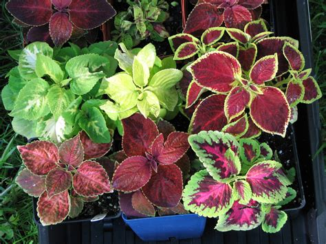 plants coleus easy gardening how to grow house plants in a glass of water