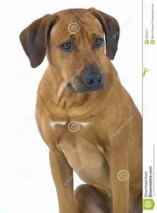 Rhodesian Ridgeback Male Dog, 3 Years Old Royalty Free ...