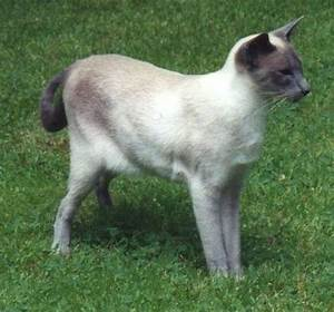 Blue Point Siamese | Animals | Pinterest