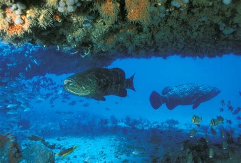 goliath grouper atlantic endangered pouted groupers