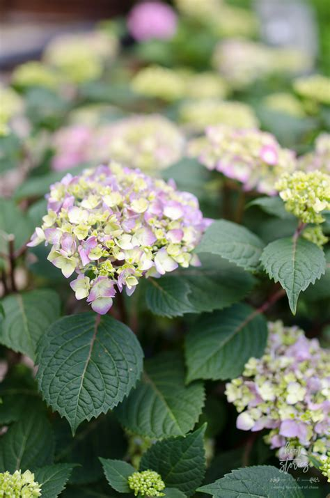 tips  endless summer hydrangeas container planting