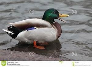 Mallard Duck Stock Image - Image: 7651961