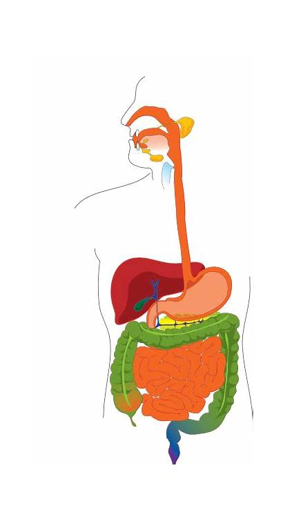 Digestive System Tract Clip Clipart Digestion Cliparts
