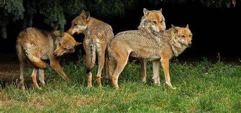 le loupe de bureau le loup zoo de la bourbansais zoo rennes 35