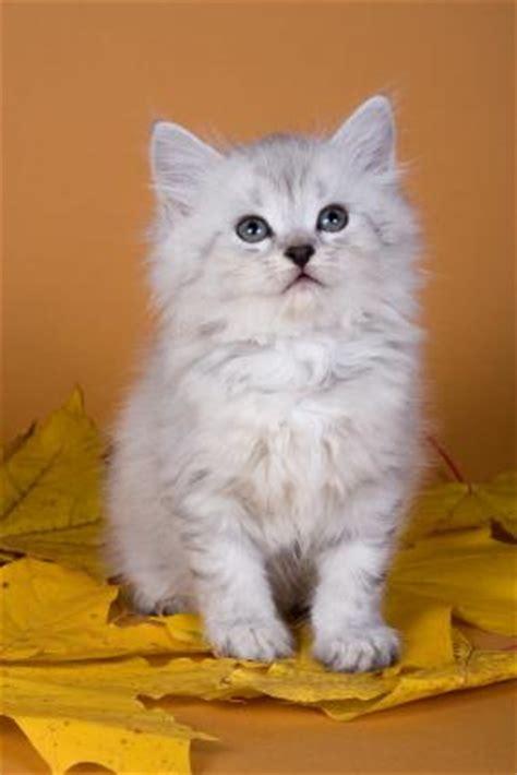 hypoallergenic cat breeds hypoallergenic cat breeds
