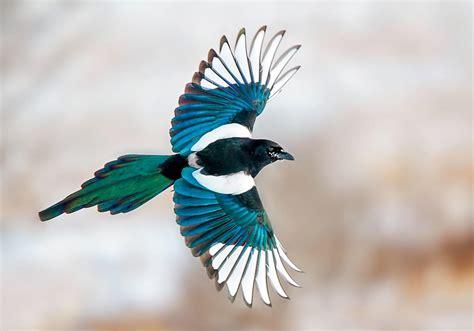 magpies  stealing shiny  audubon