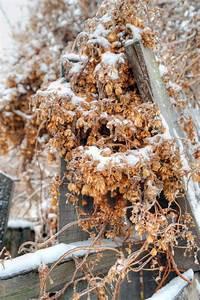 Sind Hortensien Winterhart : kletterhortensie im winter wann ist ein schutz sinnvoll ~ Lizthompson.info Haus und Dekorationen