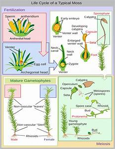 Lifecycle Moss Diagram  Plants  Diagrams  Lifecycle Moss Diagram Png Html