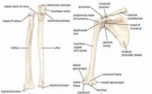 Name Of Bones In Arm How To Make Arm Bones Strong