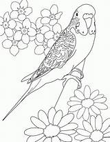 Coloring Parakeet Colouring Bird Printable Drawings Adults Birds Adult Sheets Mandala Budgie Flowers Drawing Animal Parakeets Template Books Colors Draw sketch template