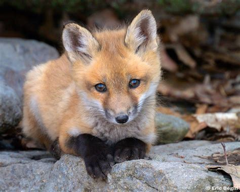 Red Fox Pup Wild  I Went Hicking Today Along Th Flickr