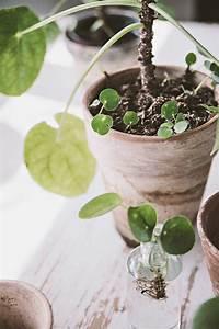Pilea Pflanze Kaufen : die besten 25 chinesische geldpflanze ideen auf pinterest ~ Michelbontemps.com Haus und Dekorationen