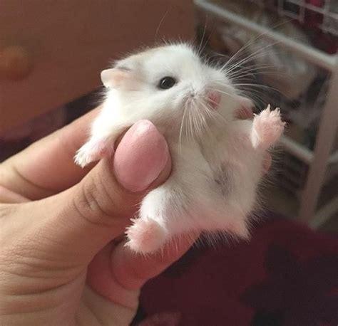 baby hamsters baby hamsters fuzzfeed