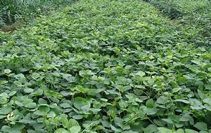 Crop Production::Forage Crops::Fodder Cowpea